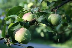 After the rain II (MaineIslandGirl) Tags: sunlight water rain fruit droplets maine apples islesboro