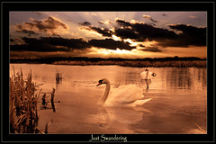 Just Swandering (DDA / Deljen Digital Art) Tags: uk sunset england sky cloud colour reflection water photoshop sunrise reeds northumberland swans manmade imagination rays forged imaginatory