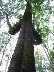 Fabula (alexgrod photos) Tags: tree verde green mexico arbol lost madera cerro veracruz tronco rostro xalapa abadonado alexgrod alexfotos cerrodemaculitepetl
