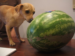 O.M.G. (petit hiboux) Tags: dog chihuahua hilarious watermelon explore melon nano myfoodisproblematic
