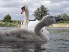 R0012440a.jpg (Hiding_Pup) Tags: swan muteswan cygnusolor swanling gx100