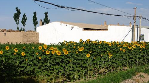 Sunflowers east of Rumen, Gansu Province, China