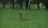 Whitetail buck in velvet (ronjbaer) Tags: wild summer green june nice spot velvet deer hide buck find whitetail whitetailbuck