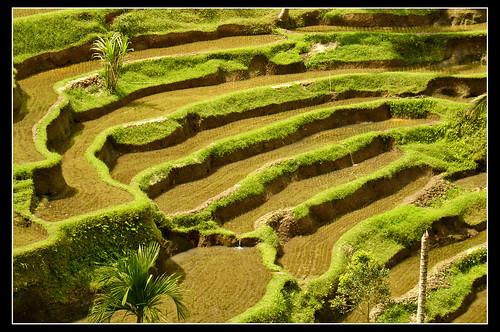 Terrazas de arroz de Bali, Indonesia...