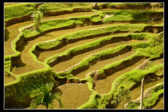 Terrazas de arroz de Bali, Indonesia... ([cation] (totally off...)) Tags: bali indonesia asia southeastasia ricefields indonesie cation asiedusudest terrazasdearroz