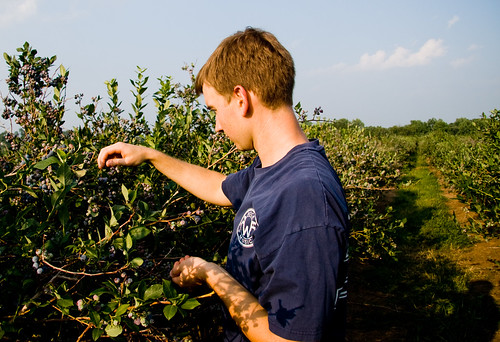 Blueberry Picking