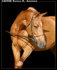 Keepsake (Rock and Racehorses) Tags: portrait black beautiful neck pretty mare background explore chestnut jumper kiki holsteiner onblack warmblood arched blueribbonwinner impressedbeauty horseportraits