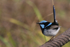Superb Fairywren (marj k) Tags: bird newcastle australia nsw superbfairywren maluruscyaneus maluridae stocktonsandspit img20551