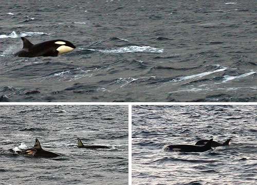 Tysfjord, Norway - whales