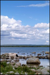 A peaceful place (Kirsten M Lentoft) Tags: sea sky water animal clouds cow rocks sweden stones coastline blueribbonwinner specland fineartphotos terrascania nybro momse2600 infinestyle thegoldenmermaid betterthangood kirstenmlentoft