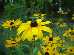 another flower (ehroo) Tags: flower field yellow blackeyedsusan