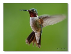 Broad-tailed Hummingbird male (colorob) Tags: birds colorado littleton broadtailedhummingbird selasphorusplatycercus coloradowildlife colorob