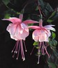 Fuchsia Patti-Sue (peterabrown) Tags: naturesfinest mykindofpicturegallery