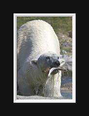 Hungry Polar Bear (Arie van Tilborg) Tags: zoo blijdorp polarbear hungry ijsbeer tilborg itsazoooutthere arievantilborg vosplusbellesphotos