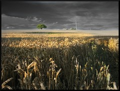 Wheat Field and tree (Mark Twells) Tags: field ir wheat harvest ear thattree citrit