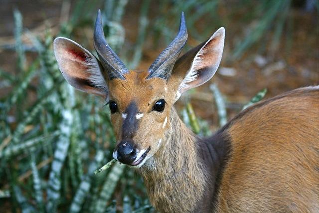 day 5: letaba: resident bushbuck