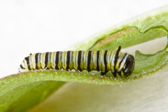 Monarch - 2nd Instar