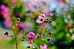 bokeh (Lani Barbitta) Tags: summer sunlight flower tree shiny dof bokeh depthoffield explore crepemyrtle 50mm18 nikond80 lanibarbitta