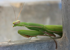 Shy mantis