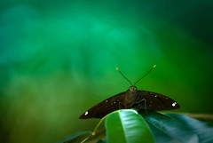 Hi ! (kktp_) Tags: green butterfly thailand nikon dof bokeh sb800 d80 70200mmf28gvrmicro ehbd