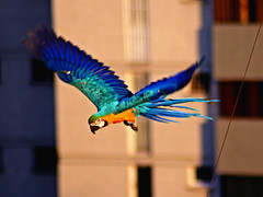 Guak-E (Pankcho) Tags: city blue naturaleza bird nature yellow azul fauna gold golden flying wings wire venez