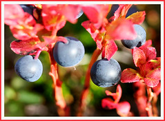 Blue in red (joningic) Tags: blue autumn light red nature iceland berry berries tasy northiceland naturethroughthelens