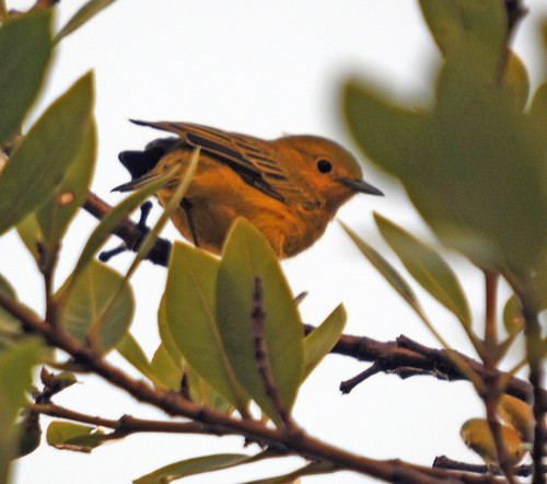 yellow warbler3