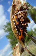 bugs milkweed