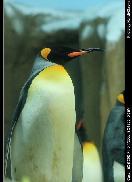 企鵝_penguin_12