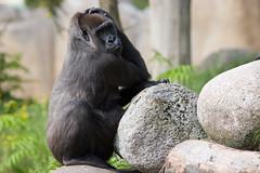 2008-09-11-14h35m36.IMG_6393l (A.J. Haverkamp) Tags: zoo rotterdam blijdorp gorilla dierentuin diergaardeblijdorp westelijkelaaglandgorilla canonef14xiiextender httpwwwdiergaardeblijdorpnl canonef300mmf4lisusmlens