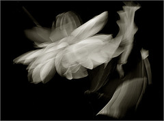 White Flower (lotus) in the wind - Black and White Flower (bw) (Bahman Farzad) Tags: blackandwhite black flower macro whiteflower wind lotus lotusflower lotusflowers flowerwhite lotuspetal blackandwhiteflower lotuspetals lotusflowerpetals lotusflowerpetal