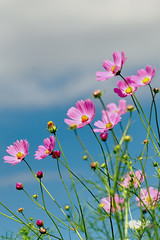 Cosmos bright blue sky (shinichiro*) Tags: flower japan tokyo nikon order getty 2008 crazyshin d3 array potofgold 昭和記念公園 naturesfinest 縦 makroplanart1002zf ds18244 gettyselect order500 order20101106 2908317318 2014flowerselect縦