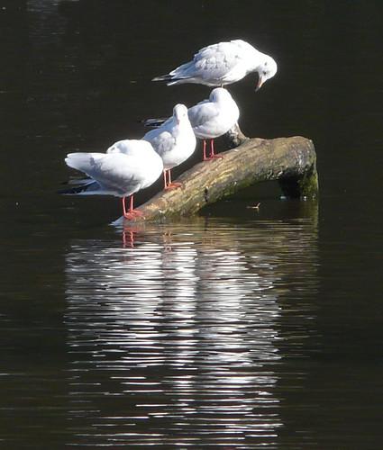 Reflections of gulls