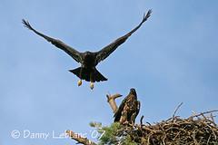 July 26 07 025v (Dbltake) Tags: bald moncton eagles