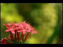 bokeh again.. (AgniMax) Tags: flowers green bokeh kerala agni impressedbeauty theunforgettablepictures