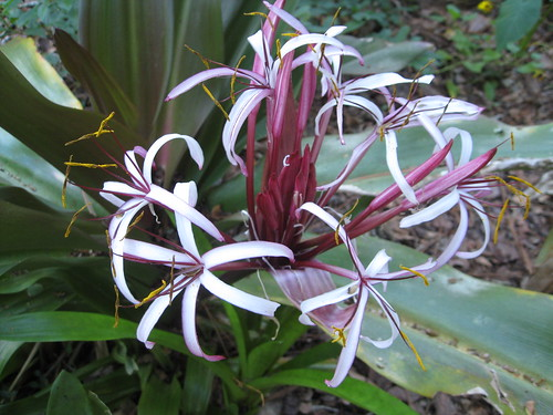 Crinum in bloom