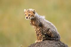 7. Shakira's Cub (Lyndon Firman) Tags: cub kenya cheetah shakira masaimara specanimal