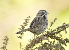 Melospiza melodia (Song Sparrow) (kmichaelshea) Tags: digiscoping songsparrow melospiza emberizidae specanimal diascope