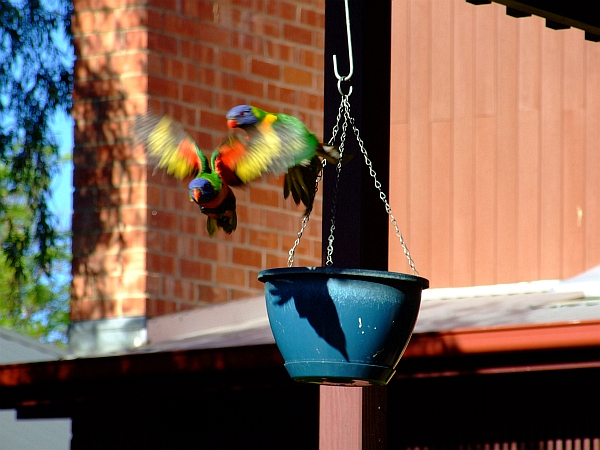 blurry lorikeet wings