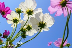 Cosmos Tricolor in the Sky, Tokyo Japan (_takau99) Tags: park trip travel pink flowers autumn vacation white holiday flower macro cute fall beautiful topv111 japan garden lumix tokyo topv555 topv333 october colorful asia pretty violet topv222 panasonic explore tricolor     2008 topf10 cosmos hama hamarikyu shiodome shinbashi    topf5 topf20 fx30   takau99 dmcfx30