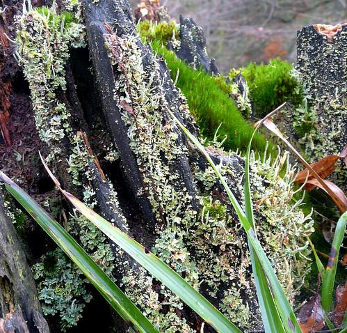 Moss and Lichen 15Nov08