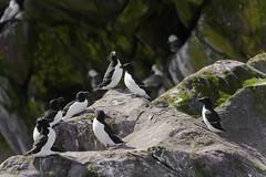Razorbills (Michael Zahra) Tags: ocean sea canada birds newfoundland atlantic avalon colony nesting razorbill colonies witless mg0785ps001 alcidaealcatorda