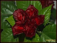 A Grate & Strange Rose!! (kanavasp) Tags: flowers red roses flower color macro green nature colors rose perfect olympus greece zuiko λουλούδια naturesfinest splendiferous naturescall wildnature beautifulshot flickrsbest olympusslrtalk zd50mmf20macro weatherphotography mywinners ilovemacro platinumphoto olympuszuikodigitalclub anawesomeshot flickrdiamond top20red excellentphotographerawards overtheexcellence dazzlingshots mailciler excellentsflowers fliccrspecialpicture flickrbestpics panoramafotografico digifotoproaword internationalflickrawards kanavasp