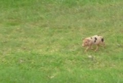 Errant piglet in front of Happy Cottage