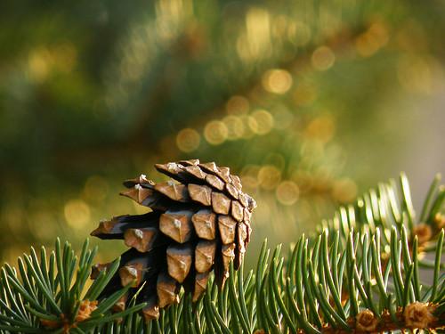 Pine cone bokeh