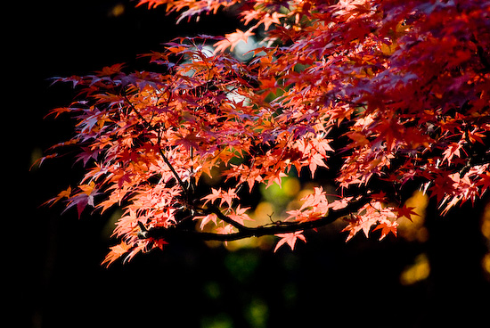 maple leaves_1082