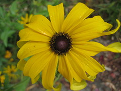 natures delight covered w/dew (Bionic Rhonda) Tags: fog fauna flora bloom fiori blackeyedsusan awesomeblossom lovelycolors impressedbeauty perfectflower cindersmom lastoftheseforawhile
