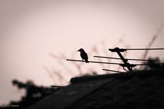 Lonely... The Lonely (CGarro) Tags: bird urbana lightroom puntaleona pjaro carlosgarro