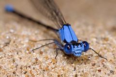 Damsel in the Sand (Emery O) Tags: blue macro wisconsin canon damselfly wisconsindells wisconsinriver odonata 180mm zygoptera kenko coenagrionidae bluedamselfly canonl 50d argiaapicalis bluefronteddancer 580exii macrolife macrophotographers bluefronteddamselfly