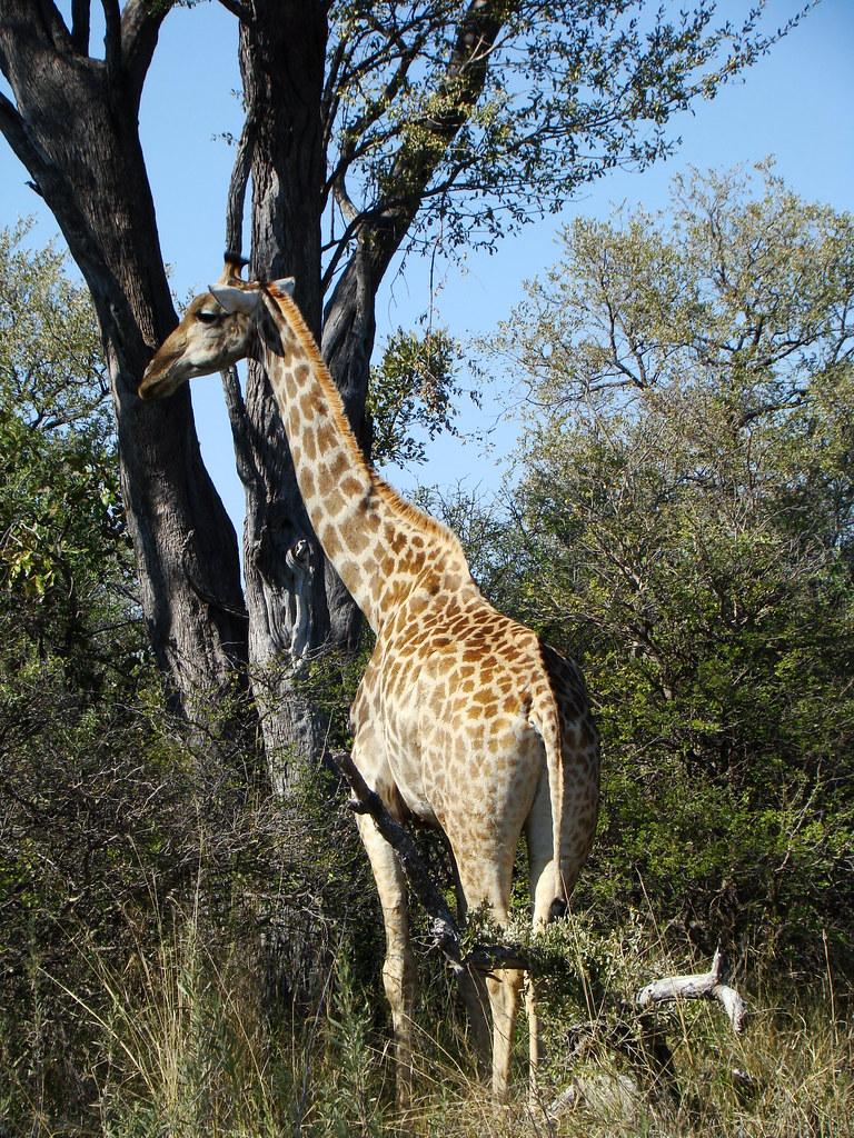 DSC07339 Southern Giraffe